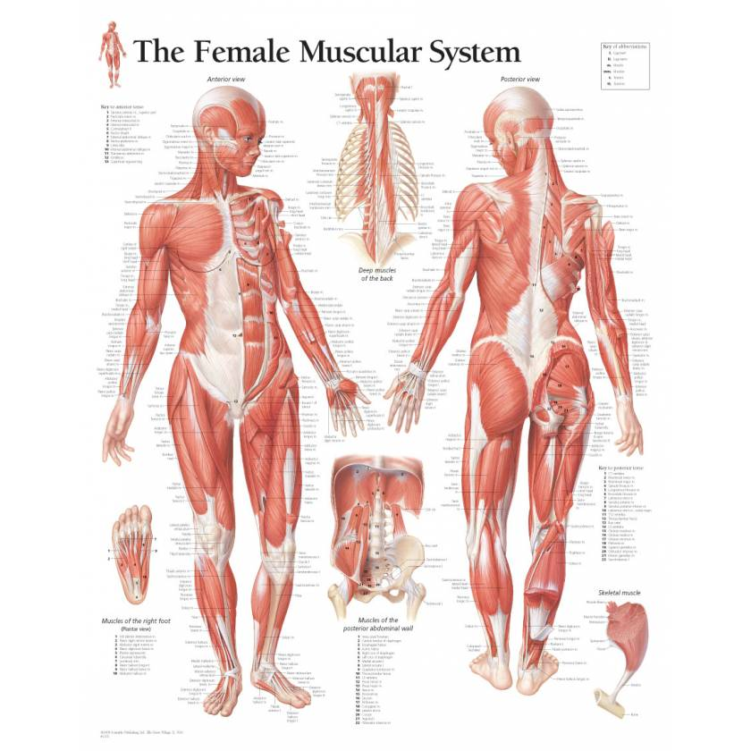 Female Muscular System Chart