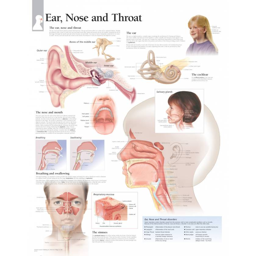 Ear Nose and Throat Chart