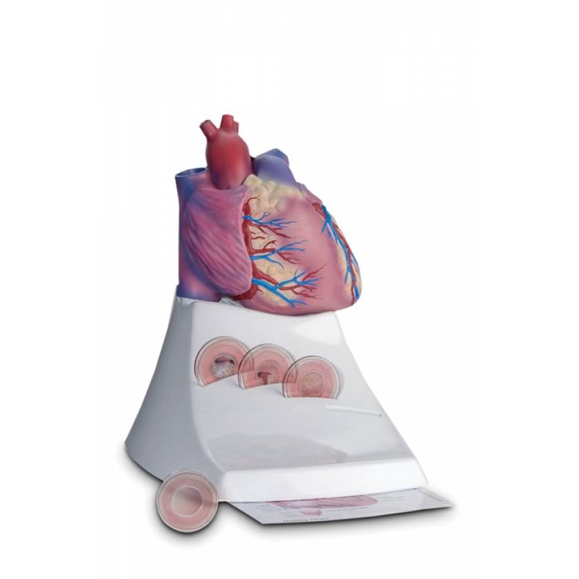 Life Size Healthy Heart Model