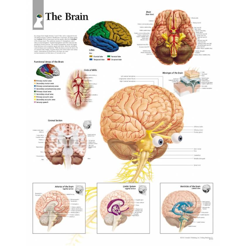 The Brain Chart