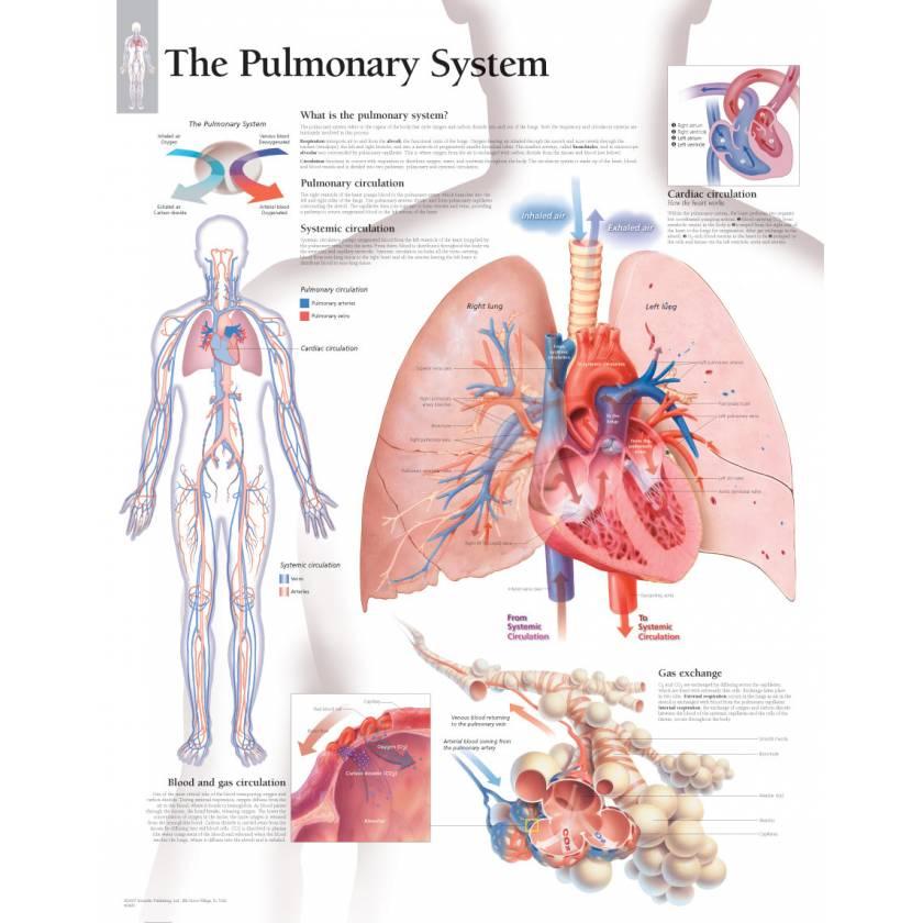 The Pulmonary System Chart
