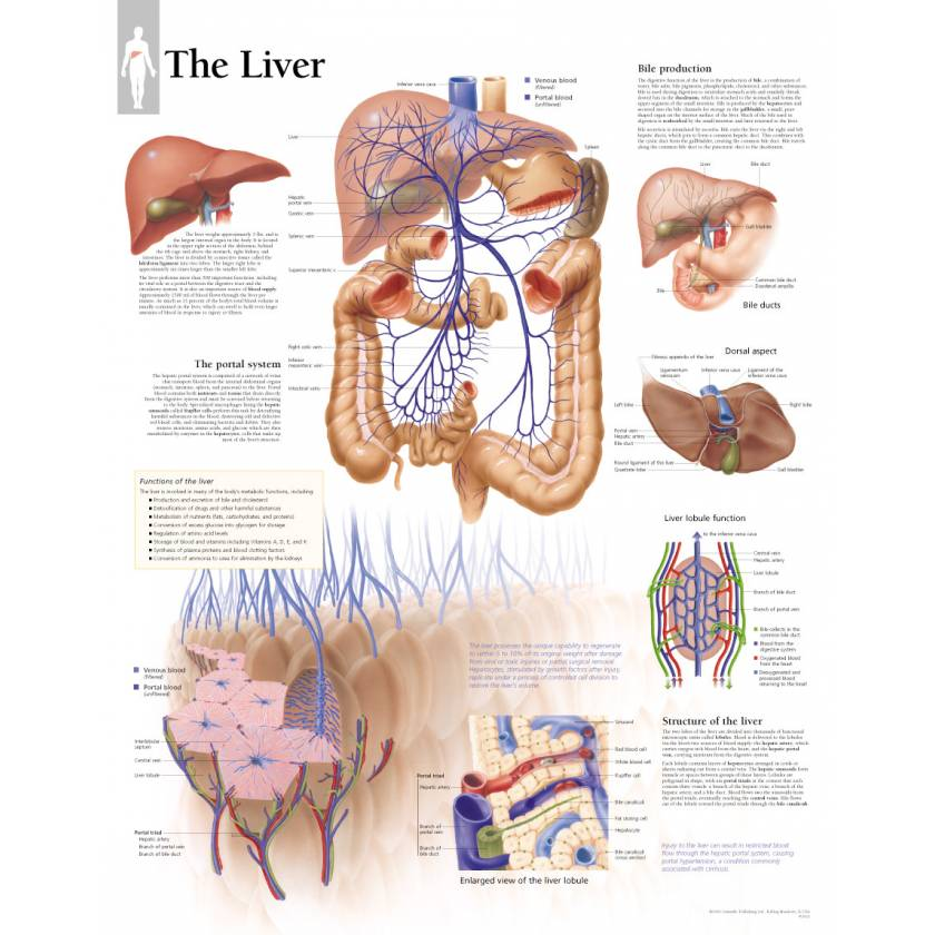 The Liver Chart