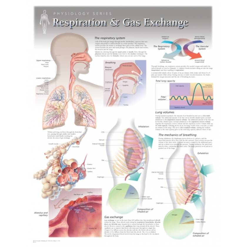 Respiration & Gas Exchange Laminated