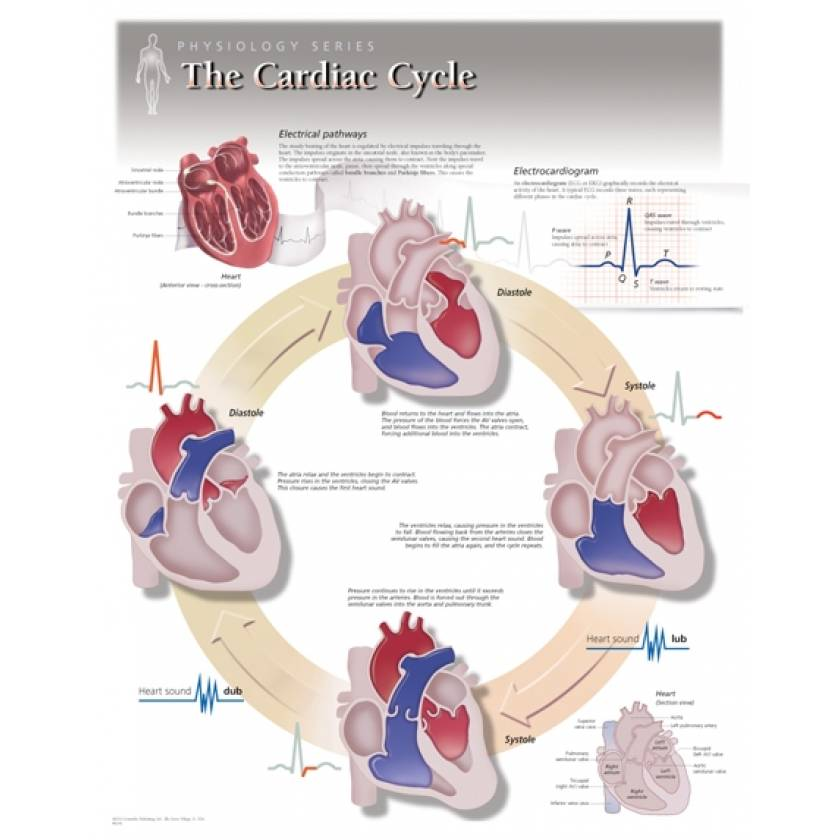 The Cardiac Cycle Laminated