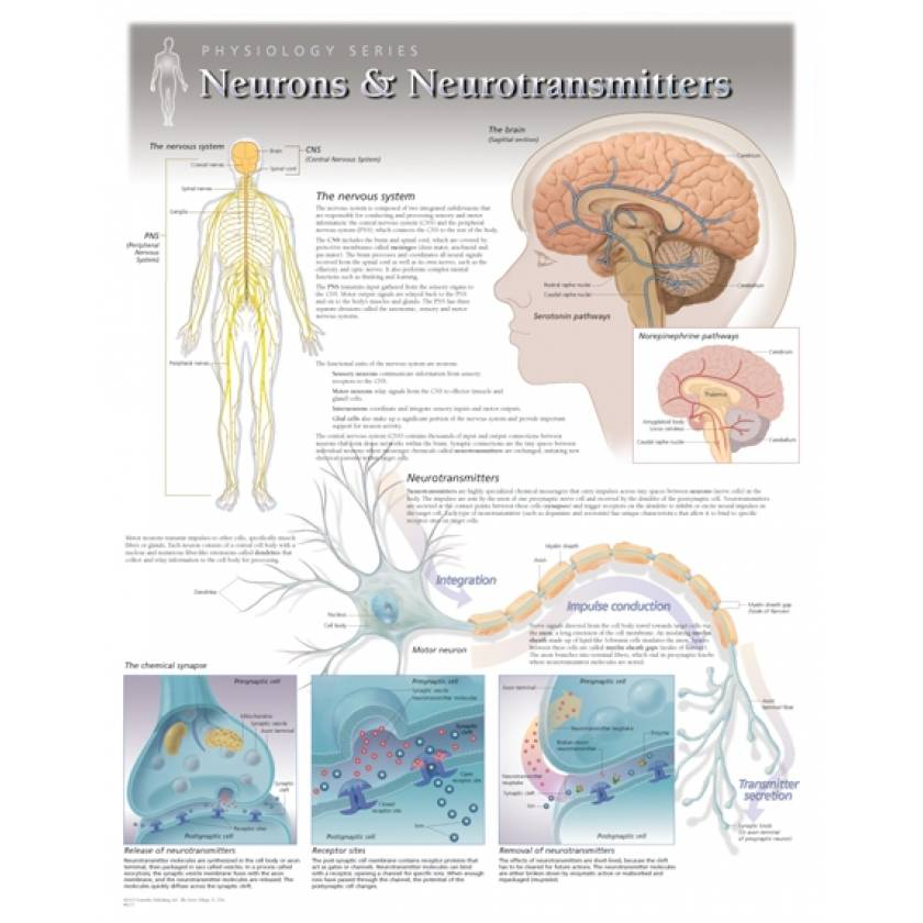 Neurons & Neurotransmitters Laminated