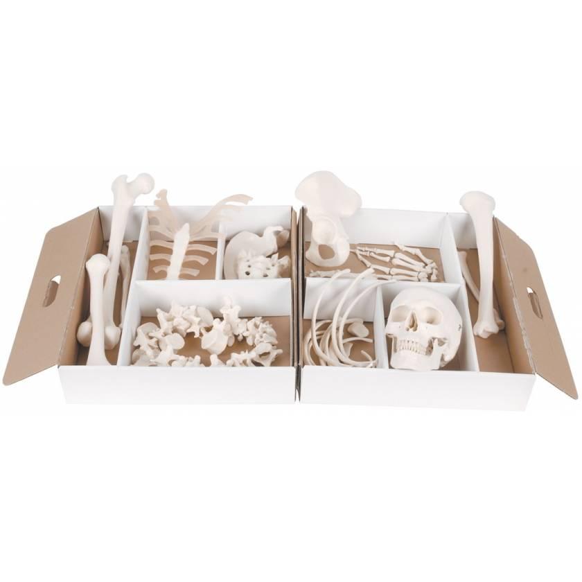 Disarticulated Half Skeleton Models