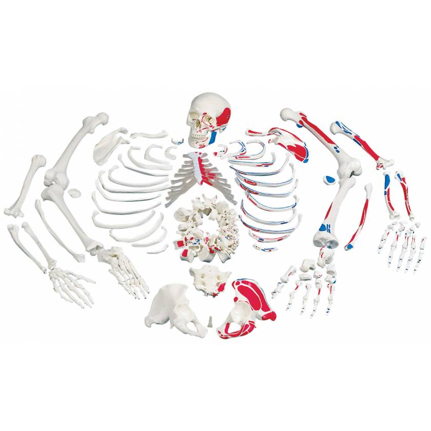 Disarticulated Full Skeleton with 3 Part Skull & Painted Muscles
