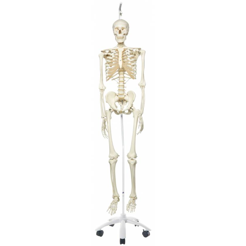 Stan the Standard Skeleton on Hanging Roller Stand
