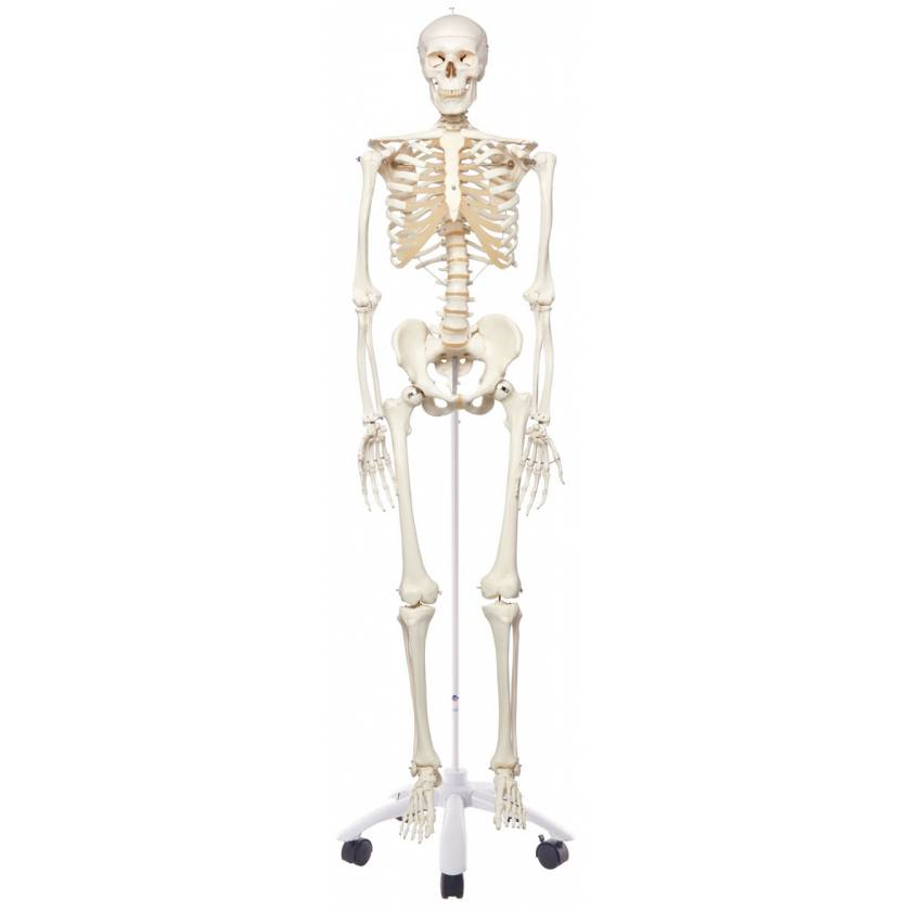 Stan the Standard Skeleton on Pelvic Mounted Roller Stand