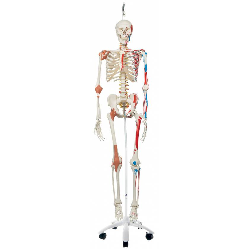 Sam the Super Skeleton with Muscles & Ligaments on Hanging Roller Stand