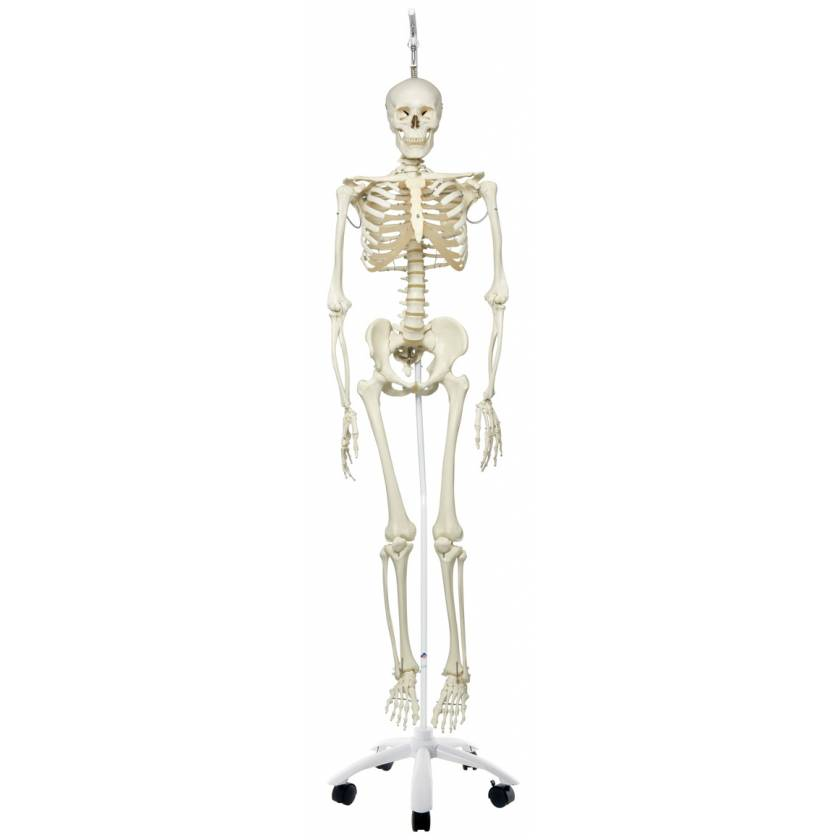 Phil the Physiological Flexible Skeleton on Hanging Roller Stand