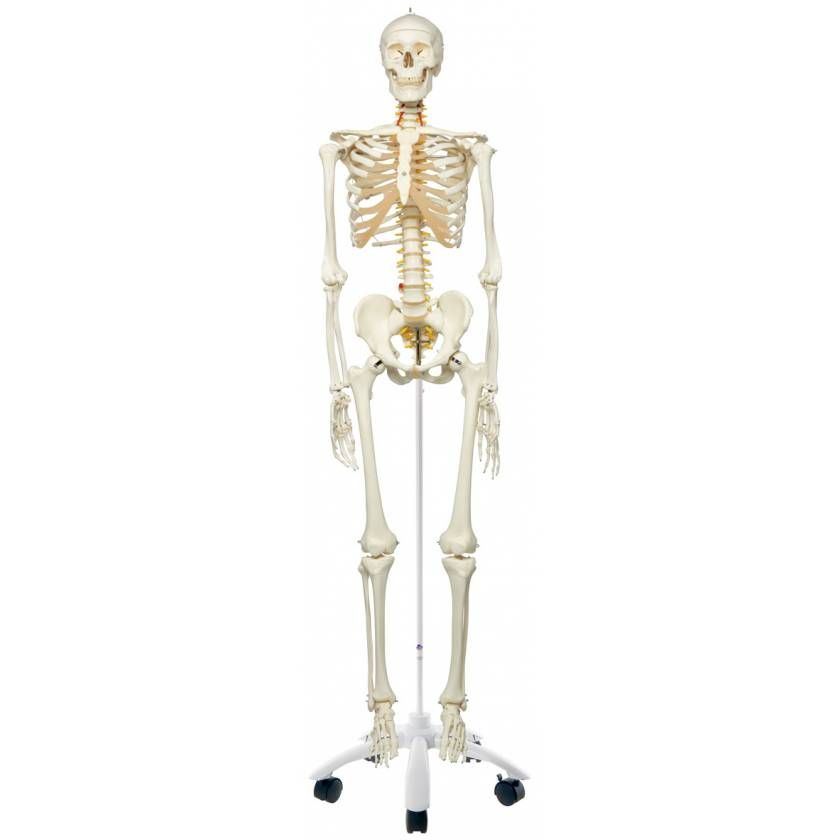 Fred the Flexible Skeleton with Flexible Foot & Hand Wire Mounted