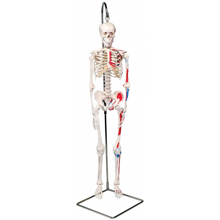 Mini Skeleton with Painted Muscles on Hanging Stand