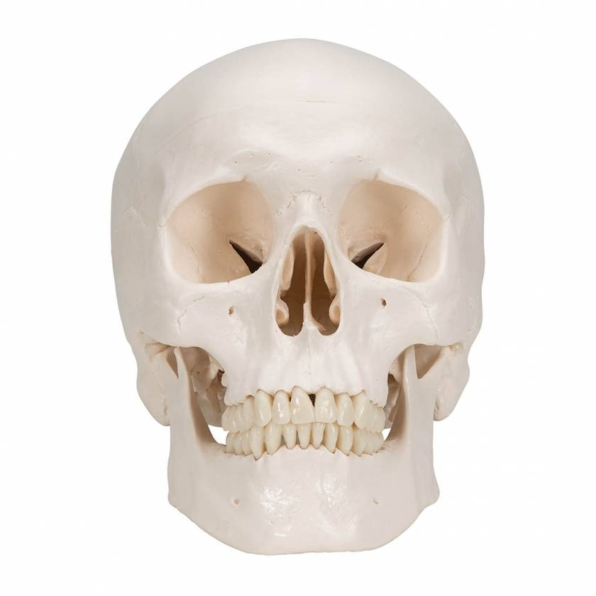 3B Scientific A20-9 Classic 3-Part Human Skull with 5-Part Brain