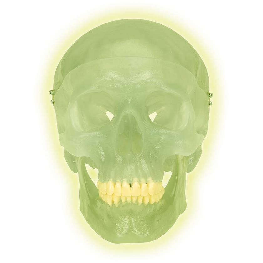 3B Scientific A20-N Neon Human Skull