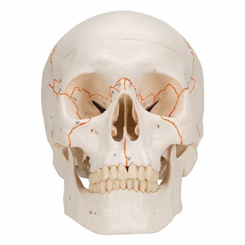 3B Scientific A21 Classic Human Skull with Numbers (3-Part)