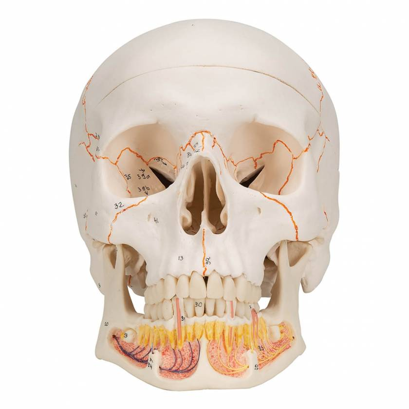 3B Scientific A22 Classic Human Skull with Opened Lower Jaw (3-Part)