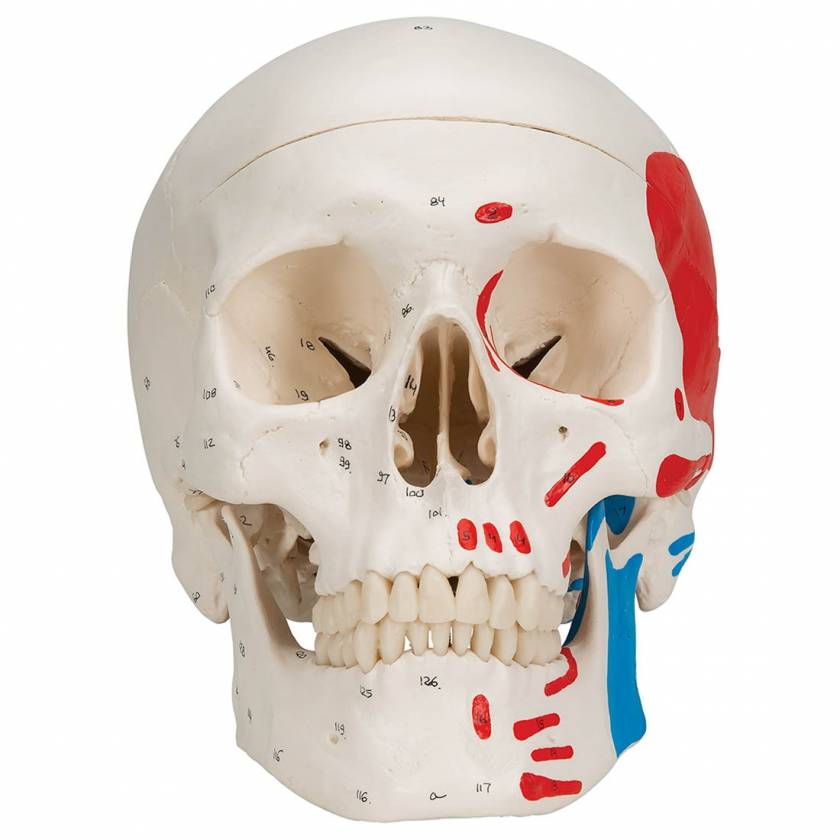 3B Scientific A23 Classic Human Skull with Painted Musculature (3-Part)