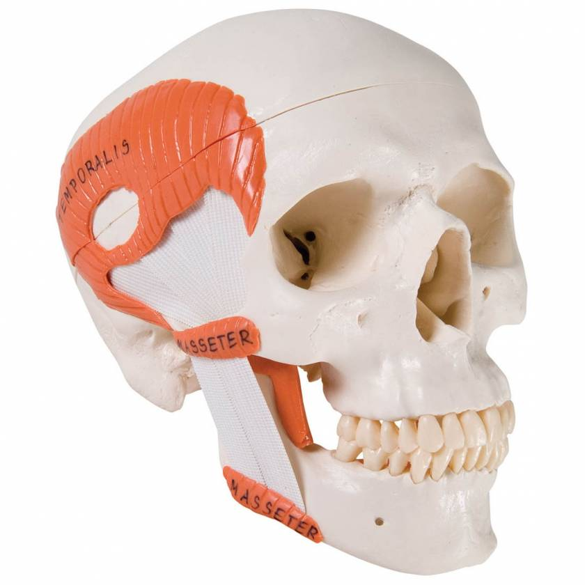 3B Scientific A24 TMJ Human Skull (2-Part) - 3B Smart Anatomy