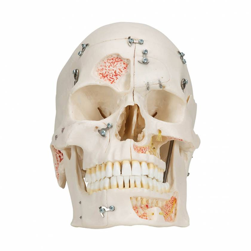 3B Scientific A27 Deluxe Human Demonstration Skull (10-Part)