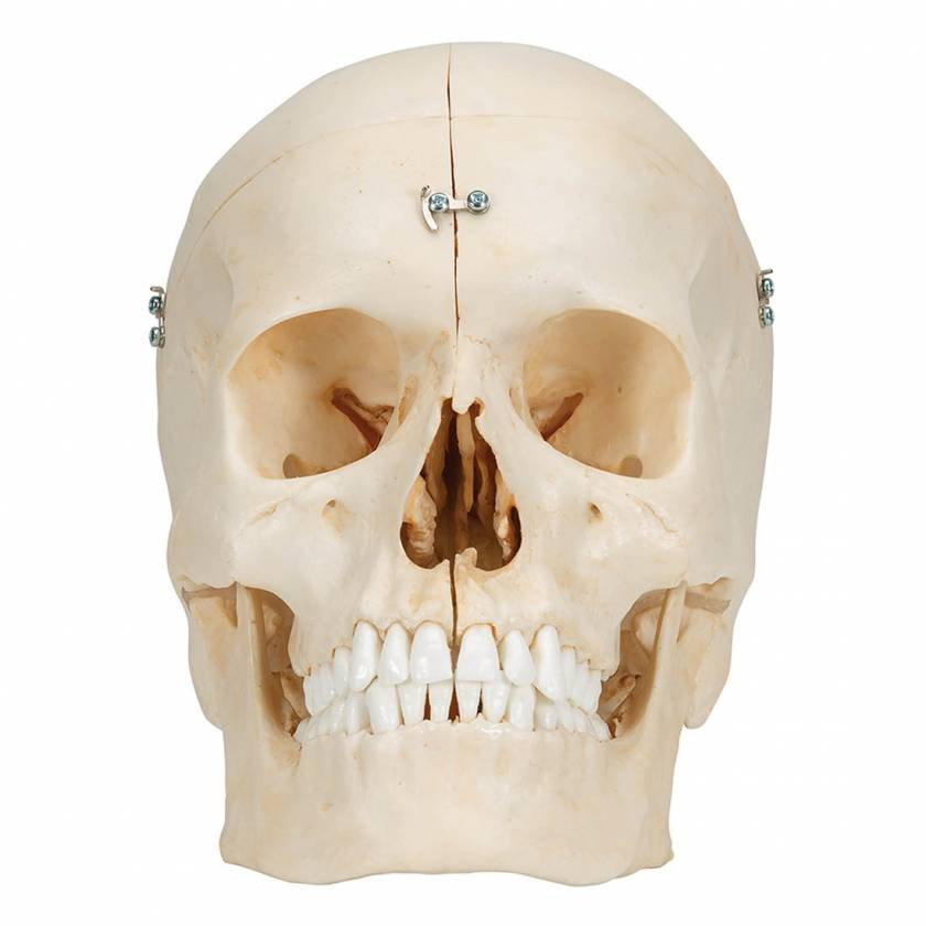 3B Scientific A281 BONElike Human Bony Skull (6-Part) - 3B Smart Anatomy