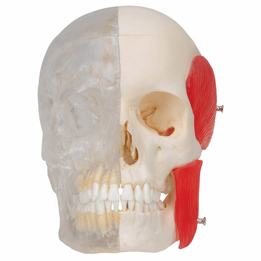 3B Scientific A282 BONElike Human Skull - Half Transparent & Half Bony (8-Part) - 3B Smart Anatomy