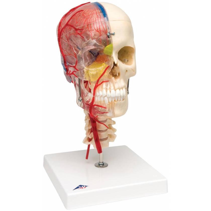 BONElike Didactic Deluxe Human Skull (7-Part)