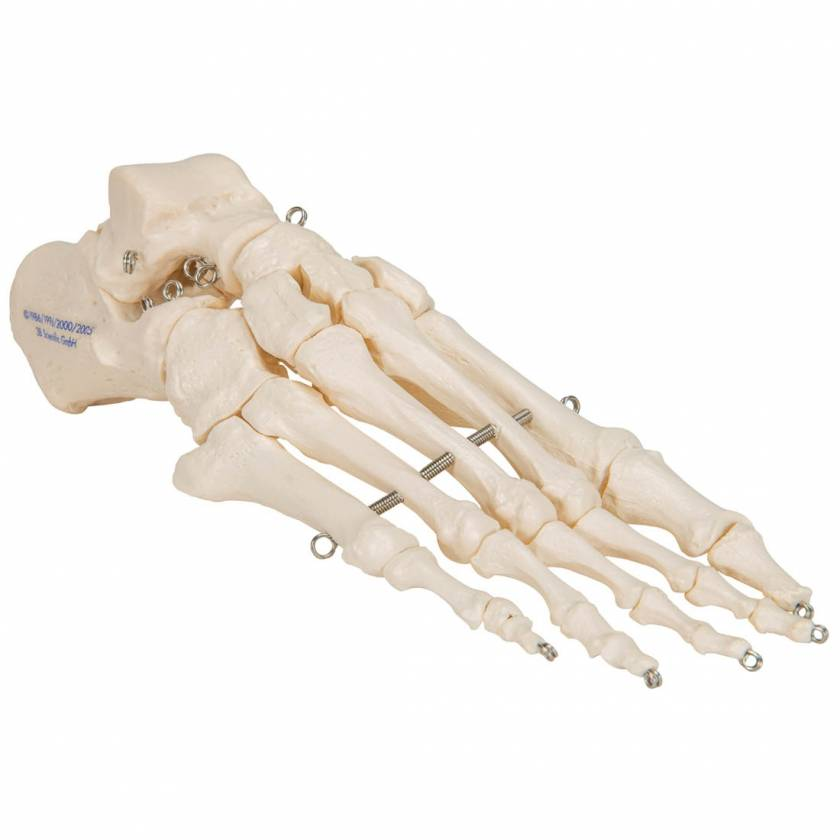3B Scientific A30 Foot Skeleton Mounted on Wire - 3B Smart Anatomy