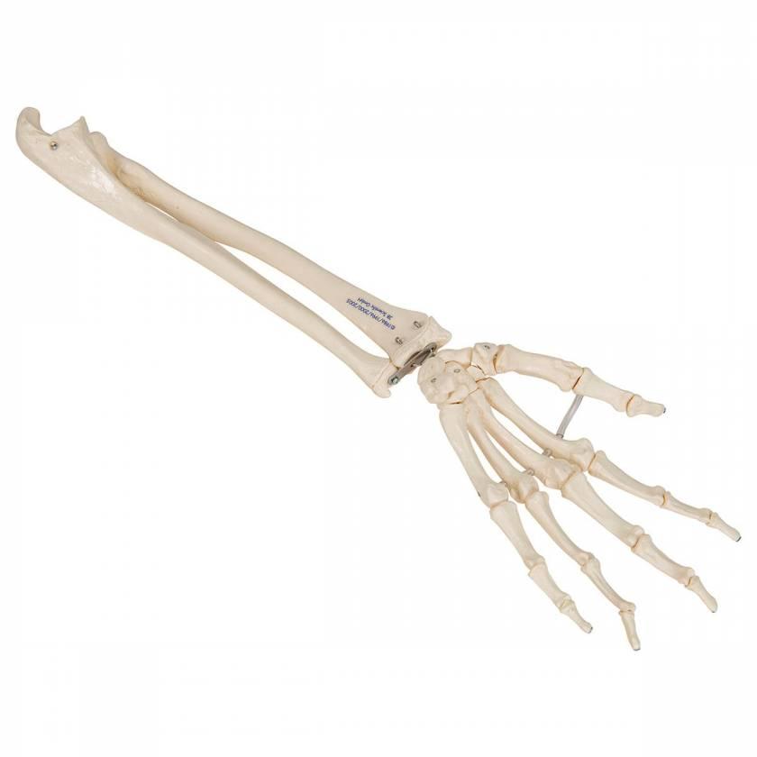 3B Scientific A40-3 Human Hand Skeleton Model with Ulna Radius Elastic Mounted String 3B Smart Anatomy
