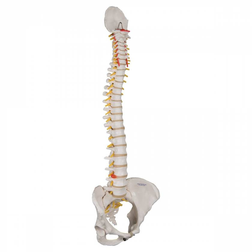3B Scientific A58-4 Classic Flexible Spine with Female Pelvis - 3B Smart Anatomy