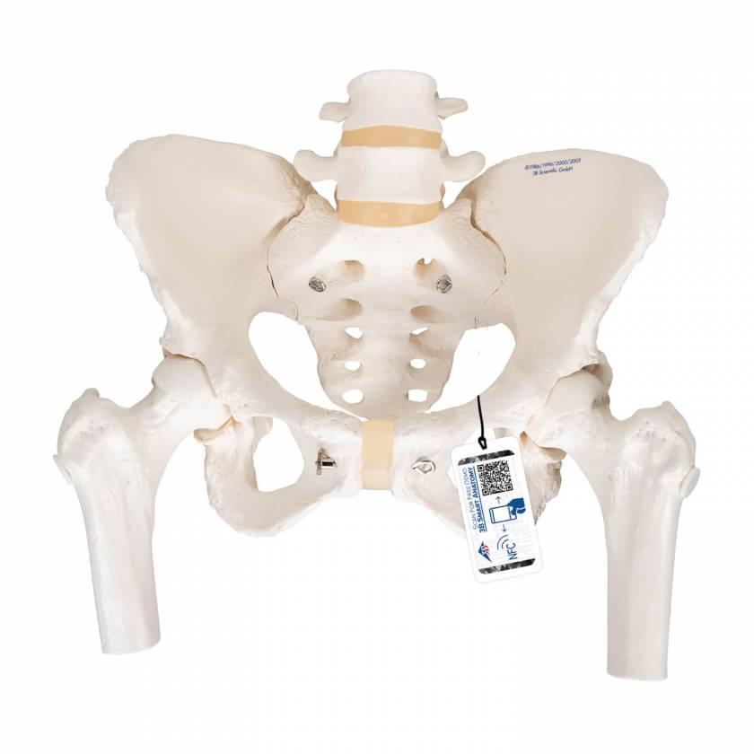 Female Pelvic Skeleton with Movable Femur Heads - 3B Smart Anatomy