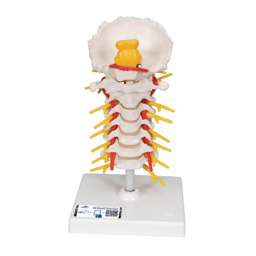 3B Smart Anatomy Flexible Cervical Vertebral Column Alt Text