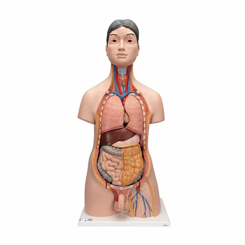 Deluxe Asian Dual Sex Human Torso Model, 18 part - 3B Smart Anatomy