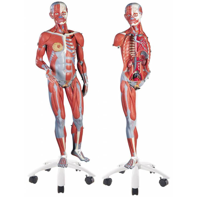 3/4 Life-Size Dual Sex Muscle Figure 45-Part