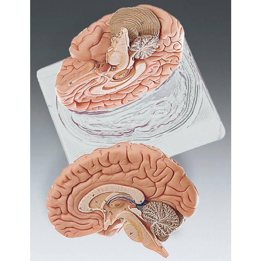 Brain Model Two-Part