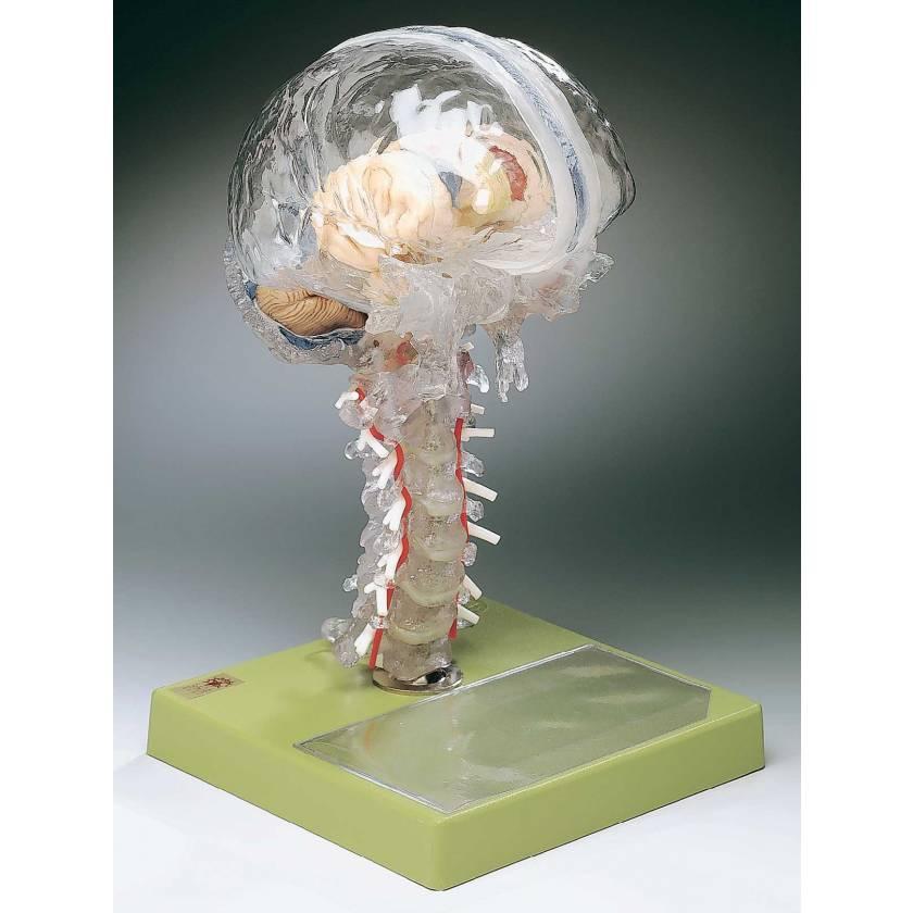 Transparent Brain Model