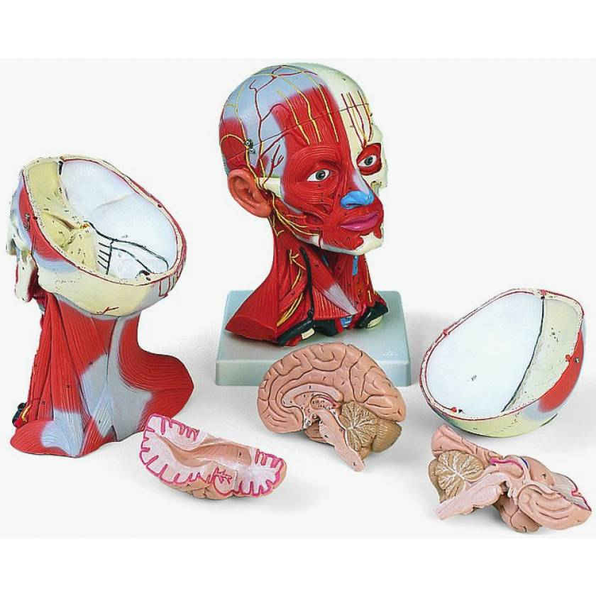 Head and Neck Musculature 5-Part