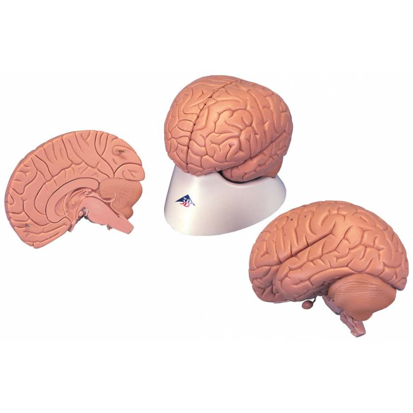Introductory Brain Model 2-Part