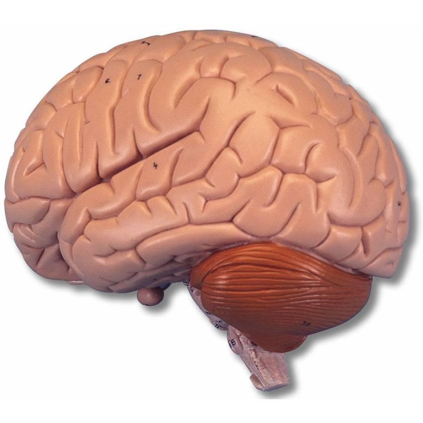 Brain Model 2-Part