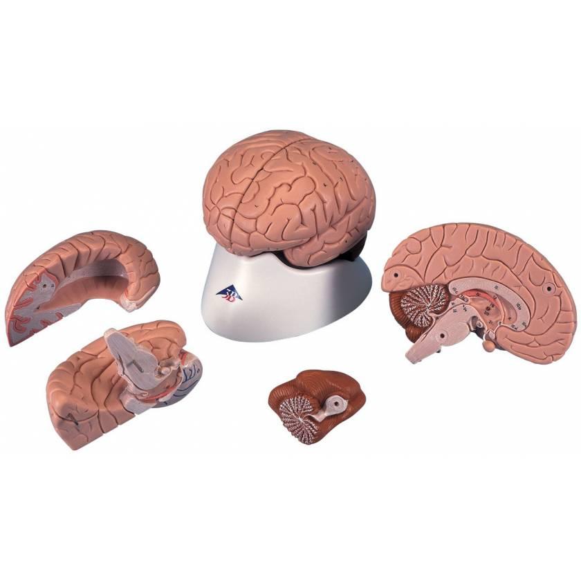 Brain Model 4-Part