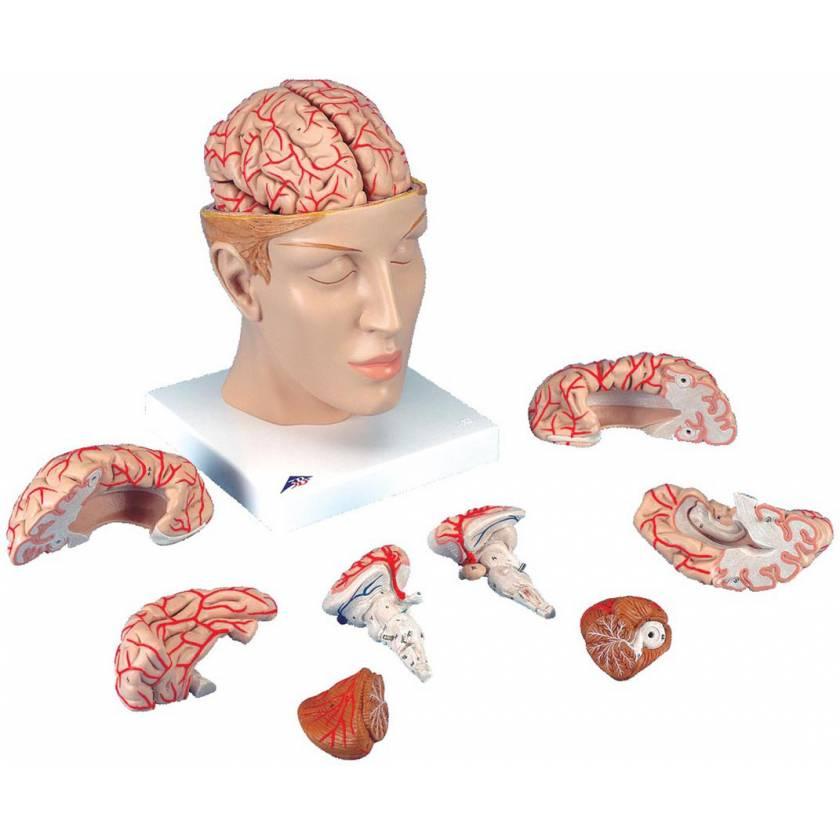 Head with Brain Model