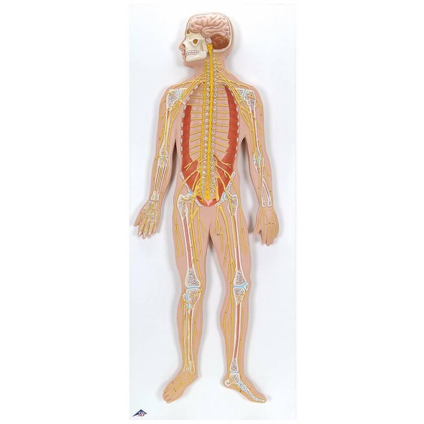 1/2 Life Size Nervous System
