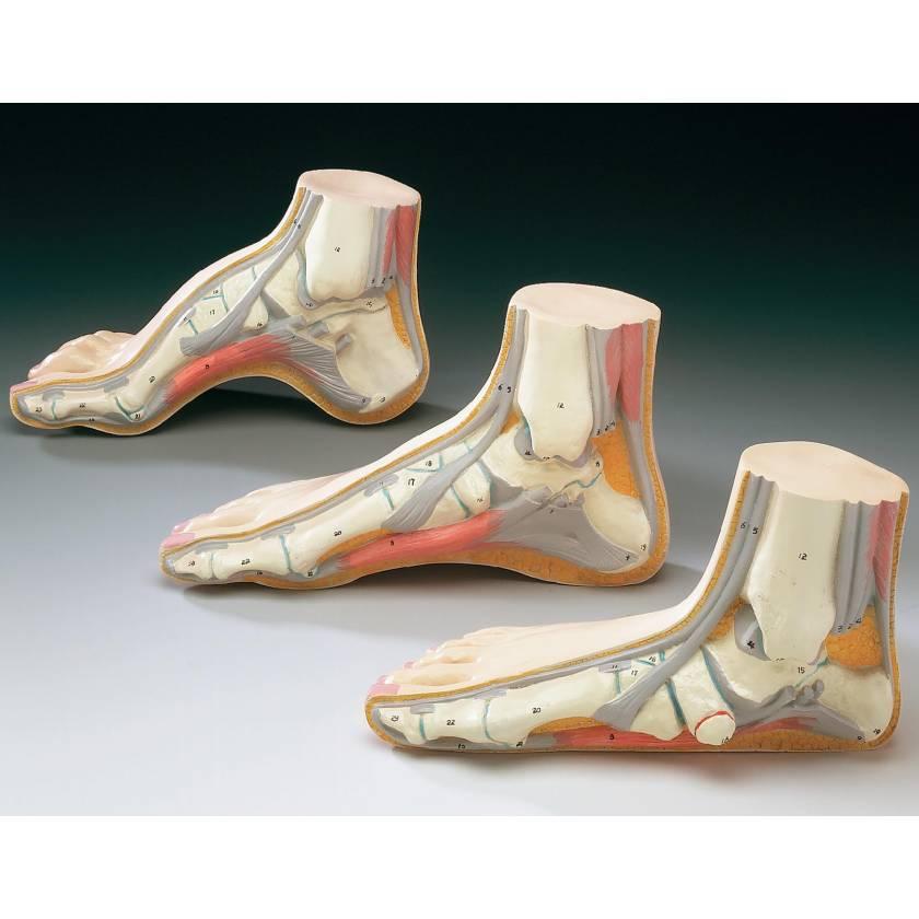 Foot Model Set