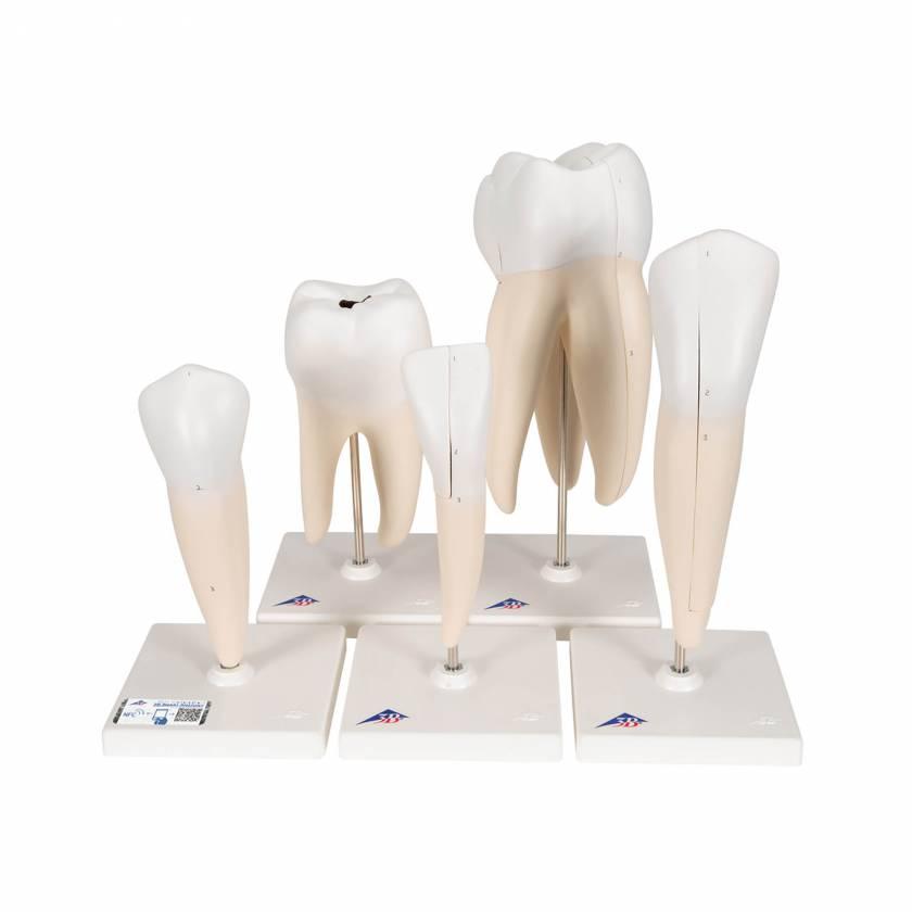 "D10 Human Tooth Models Set ""Classic Series"", 5 Models - 3B Smart Anatomy"