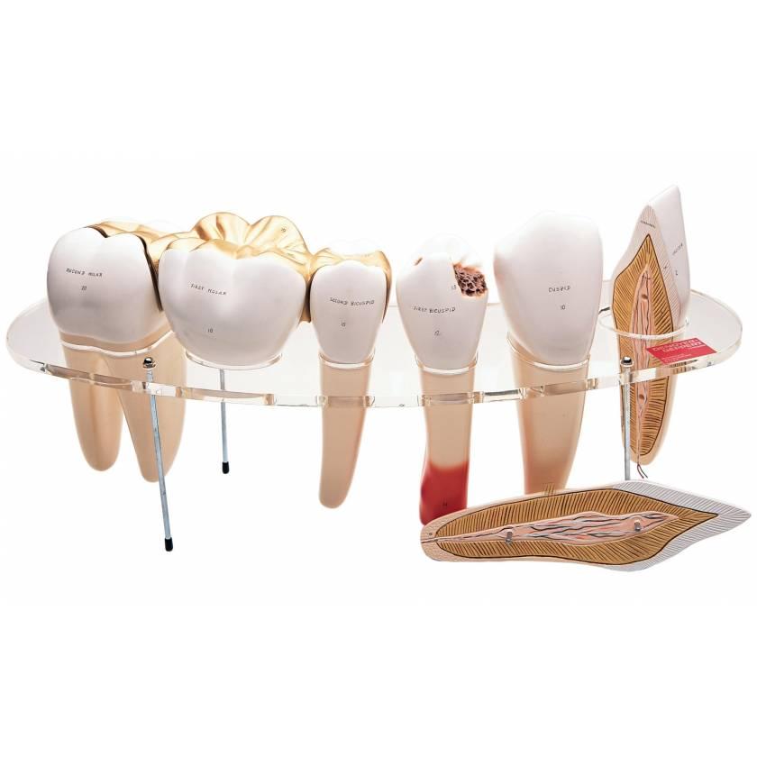 Dental Morphology Series