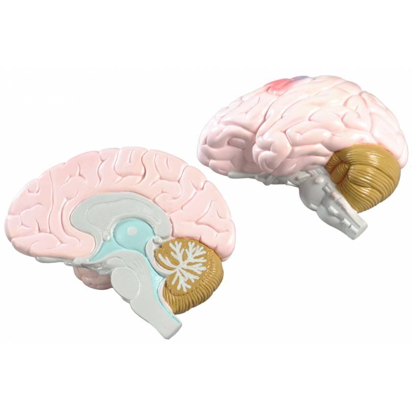 Life-Size 2-Part Brain