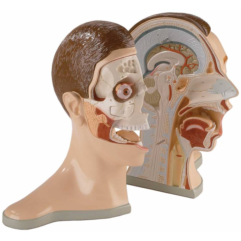 5-Part Bisected Head