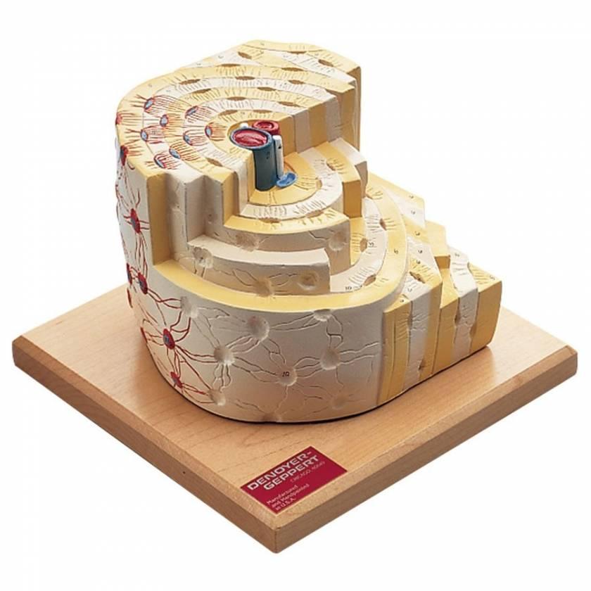 Bone Structure Model
