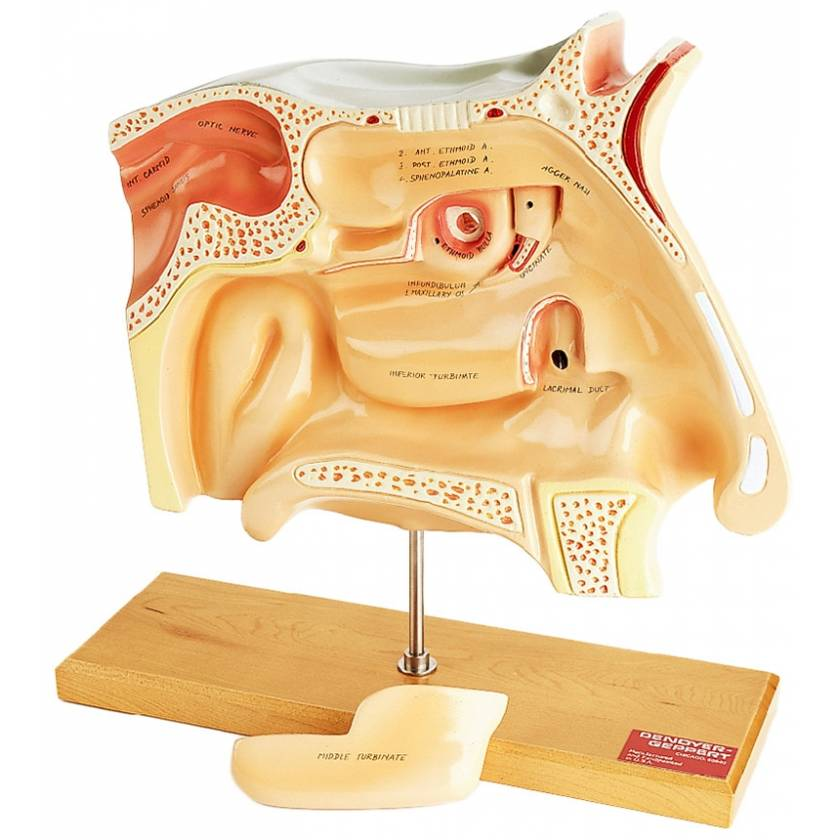 Human Sinus Model - 4x Life-Size