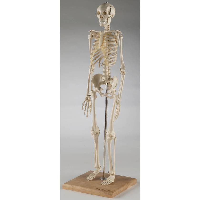 Mini-Skeleton with Flexible Spine